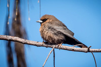 Photography of Birds in & around Ayers Rock Resort